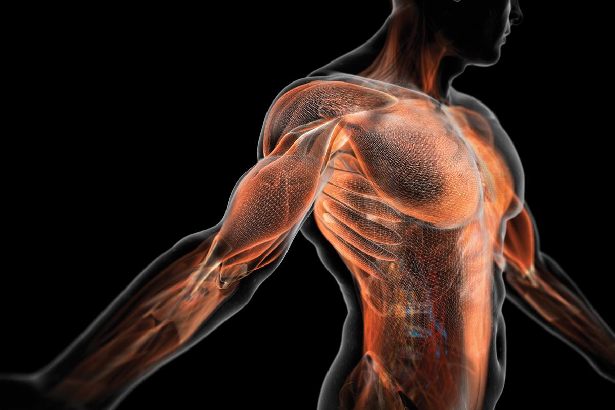 funcionam os músculos peitorais